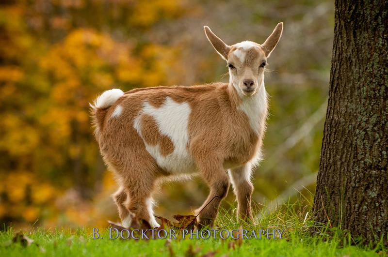 1310_Nigerian dwarf goats_112.jpg