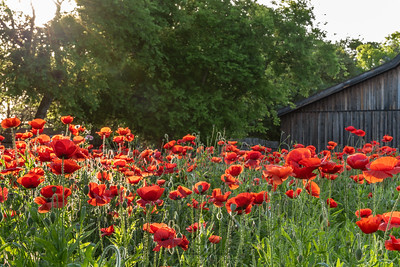 Garden of vivid red poppies in morning sunlight