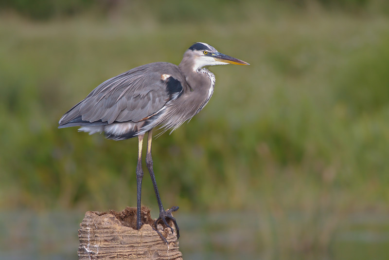 Great Blue Heron at Viera Wetlands