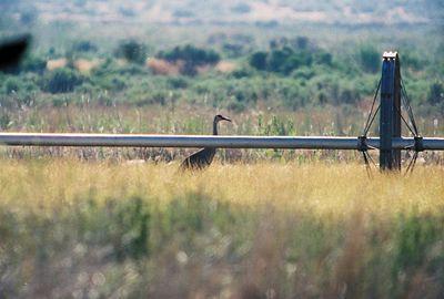 BIRDS: Cranes (Gruidae)