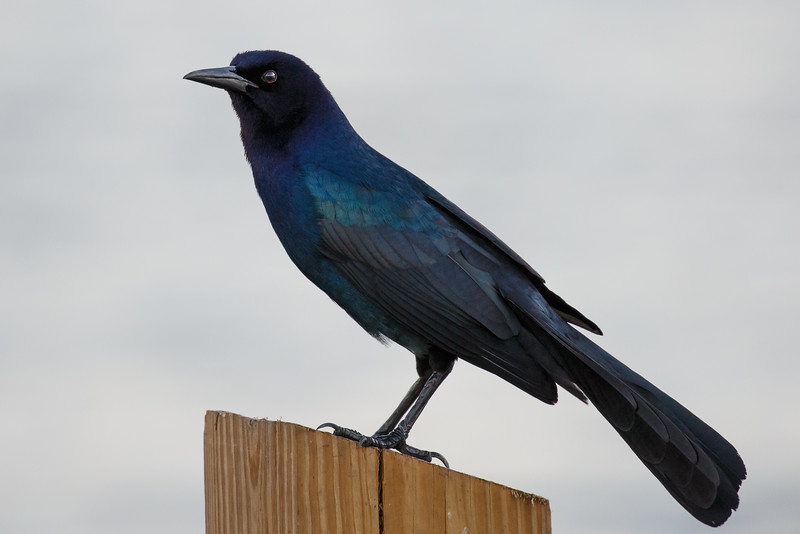 Boatailed Grackle