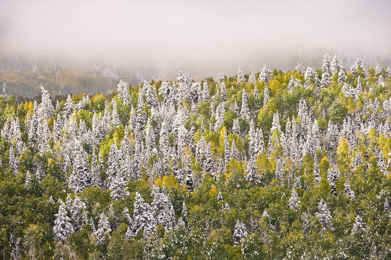 Aspen are presided over by  Spruce blanketed in snow along County Road 5 outside Ridgway, Colorado.