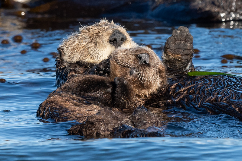 morro bay sea otters-2.jpg