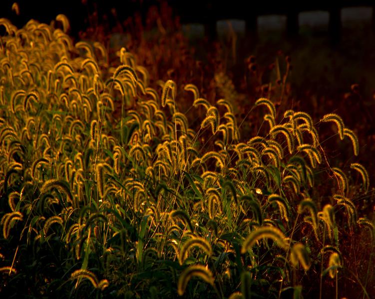 Golden tails.jpg