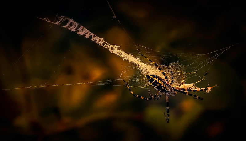 Spiders-Arachnids-155.jpg