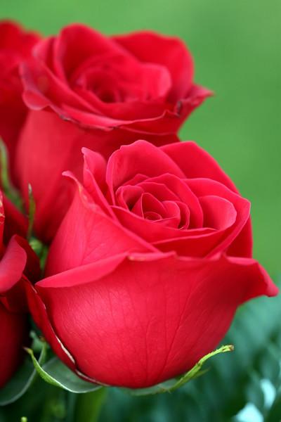 Rose v.1.jpg