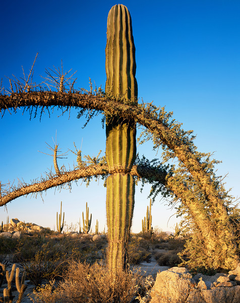 Catavina, Baja California, Mexico / Desierto Central, Sonoran Desert. Cardon Cactus, Pachycereus pringlei, growing between Boojum, Fouquieria columnaris, limbs at dawn. 22002V3
