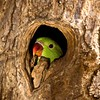 Rose Ringed Parakeet looking out of a tree hole in Ranthambore