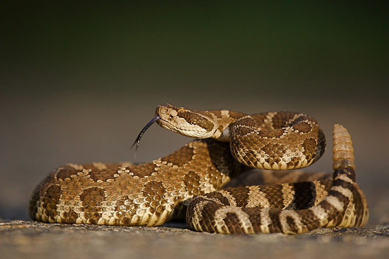 Rattlesnake, coiled and poised to strike