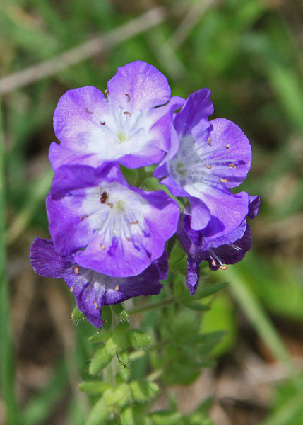 Phacelia patuliflora - Purple Phacelia