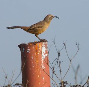 Sparrows , Swallows, Towhee, etc