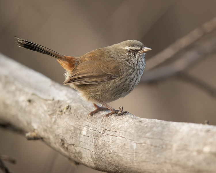 Chestnut-rumped Heathwren