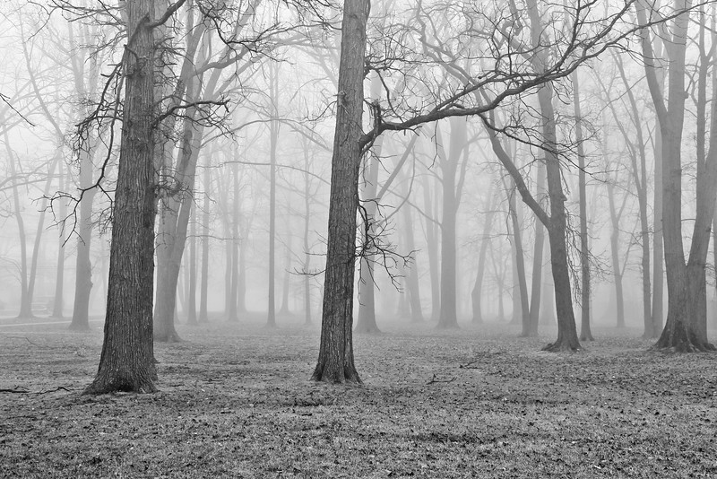 fog trees bw michigan forest morning lilacpop-1.jpg