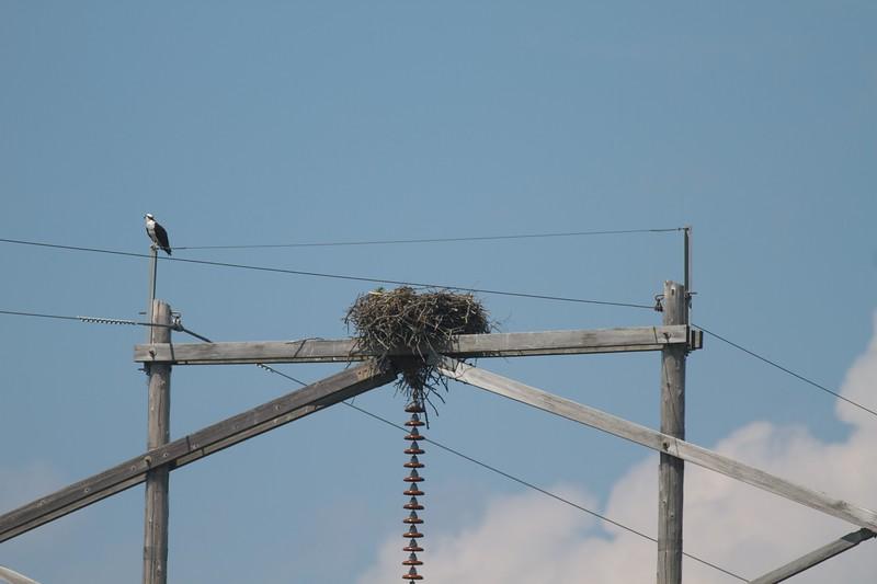 Osprey at nest CR5 Carlton Co MN Osprey nest power pole CR5 Carlton Co MN IMG_9452.jpg