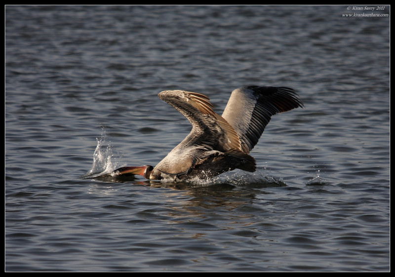 Brown Pelican plunge-diving for fish, Robb Field, San Diego River, San Diego County, California, April 2011