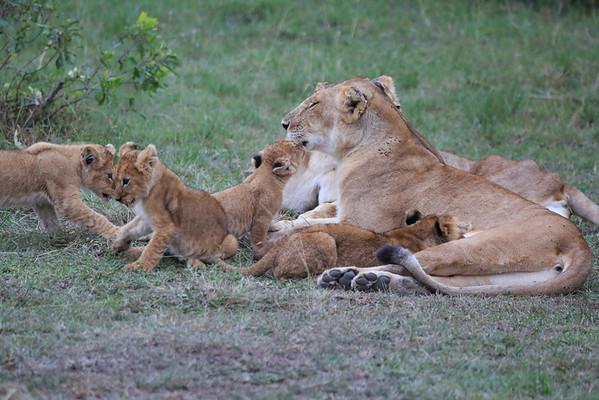 Lion Cub Love Mara Reserve Kenya 2014