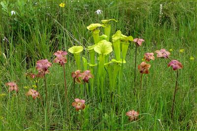 Sarracenia purpurea (Sarraceniaceae)