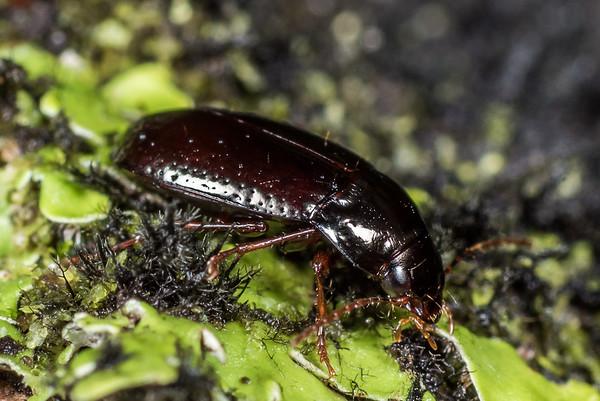 Amarotypus edwardsii