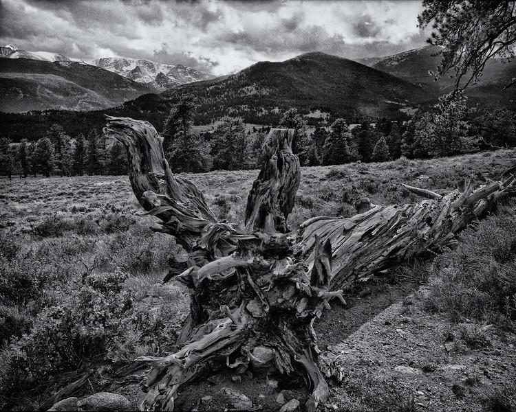 Fallen Pine RMNP.jpg