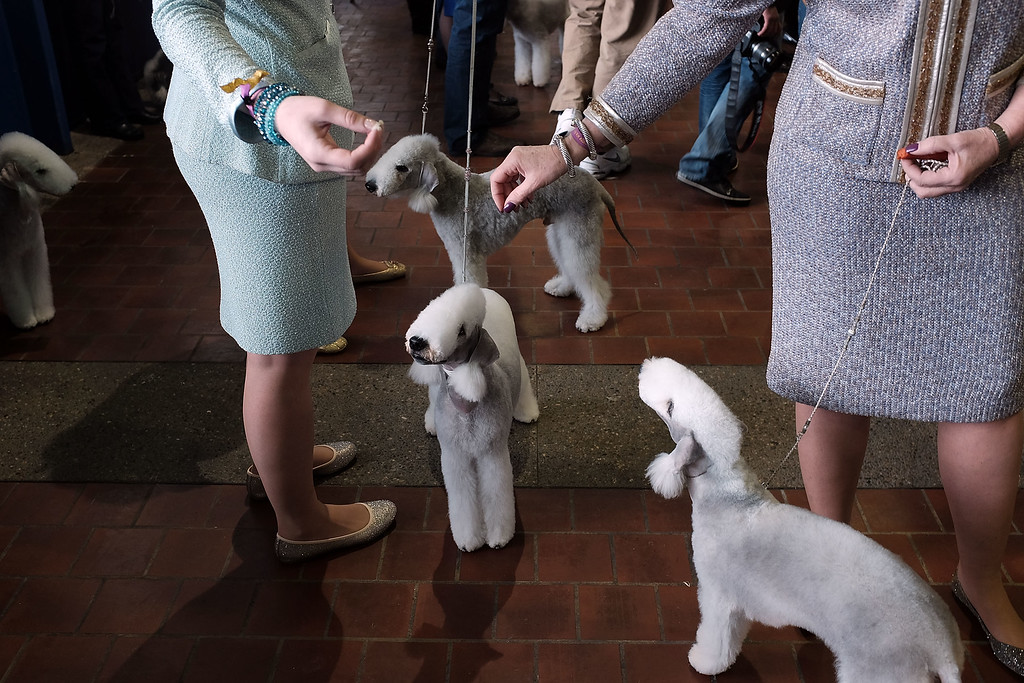 . NEW YORK, NY - FEBRUARY 17:  Bedlington Terriers are viewed at the  Westminster Kennel Club Dog Show on February 17, 2015 in New York City. The show, which is in its 139th year and is called the second-longest continuously running sporting event in the United States, includes 192 dog breeds and draws nearly 3,000 global competitors. This year\'s event began on Monday and will conclude with the awarding of \'Best of Show\' on Tuesday night.  (Photo by Spencer Platt/Getty Images)