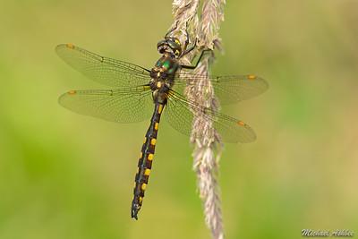 Yellow spotted Dragonfly (Procordulia grayi )