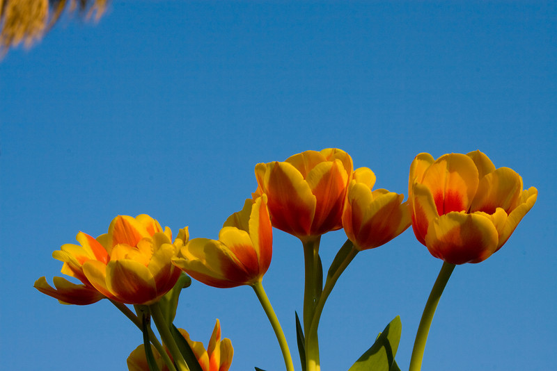 Tulips outdoor_20.jpg