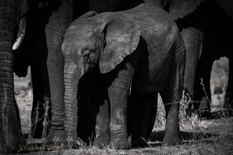 Baby Elephant 9516.jpg