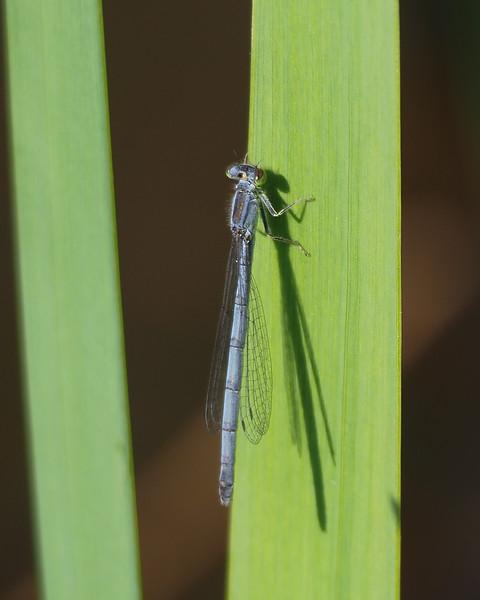 Eastern Forktail, female