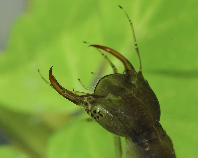 Water Tiger's are are the venomous larva of the Giant Diving Beetle