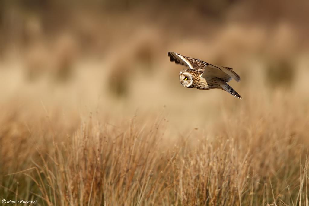5. Short eared Owl