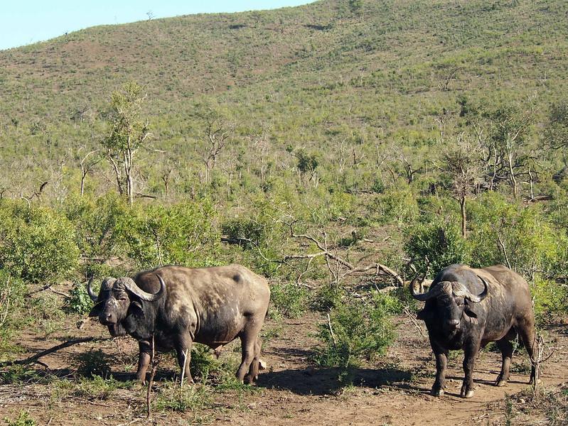 P5056377-buffalos.JPG
