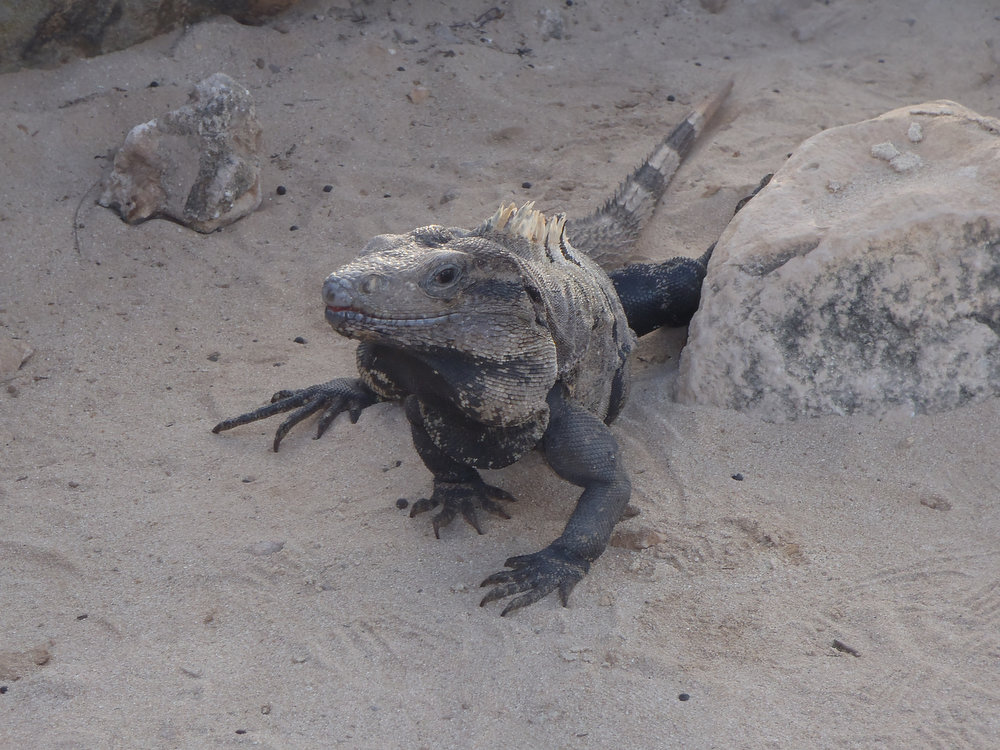 . One of the many large lizards running around Tulum, Mexico.  (Kyle Wagner/Special to the Denver Post)