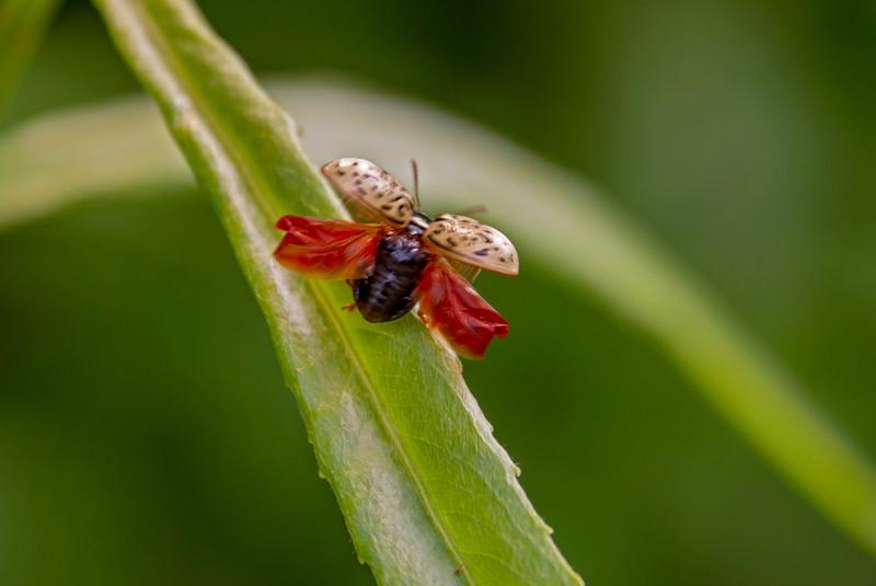 Beetle-takingoff-FirestonePark.jpg