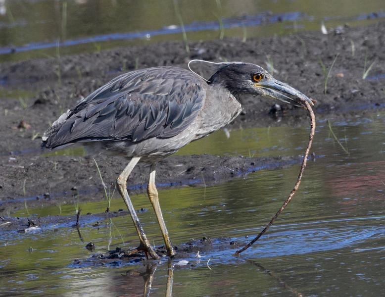 Yellow-crowneed Night-Heron San Dieguito Lagoon 2011 06 05-9.CR2