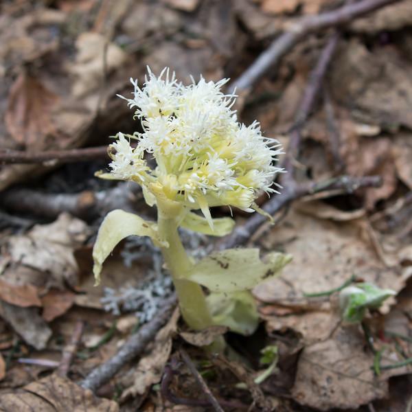 romeyer, petasites albus, wit hoefblad