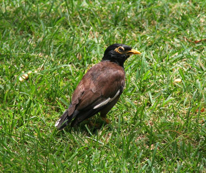 5105 Myna Bird.jpg