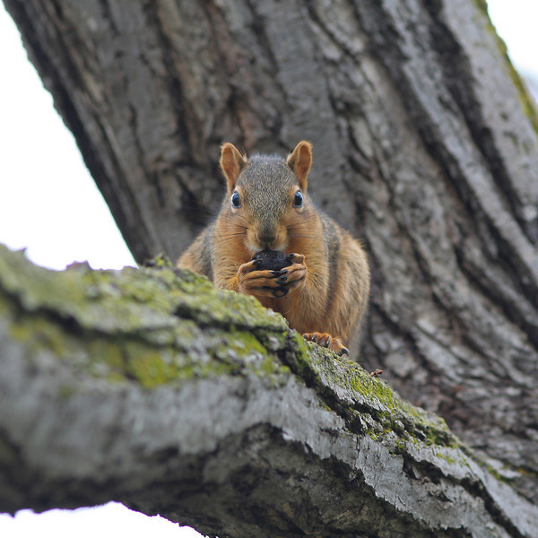 Squirrel at a neighborhood park, Fremont, CA
