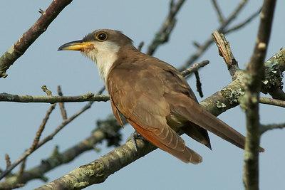 Yellow-billed Cuckoo, Geelsnavelkoekoek, Coccyzus americanus