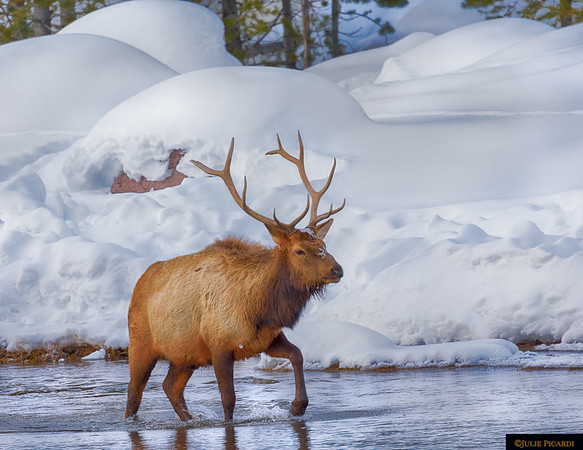 Bull elk in the Madison River in Yellowstone National Park