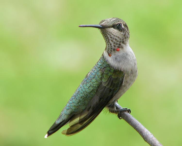 hummingbird_1277.jpg