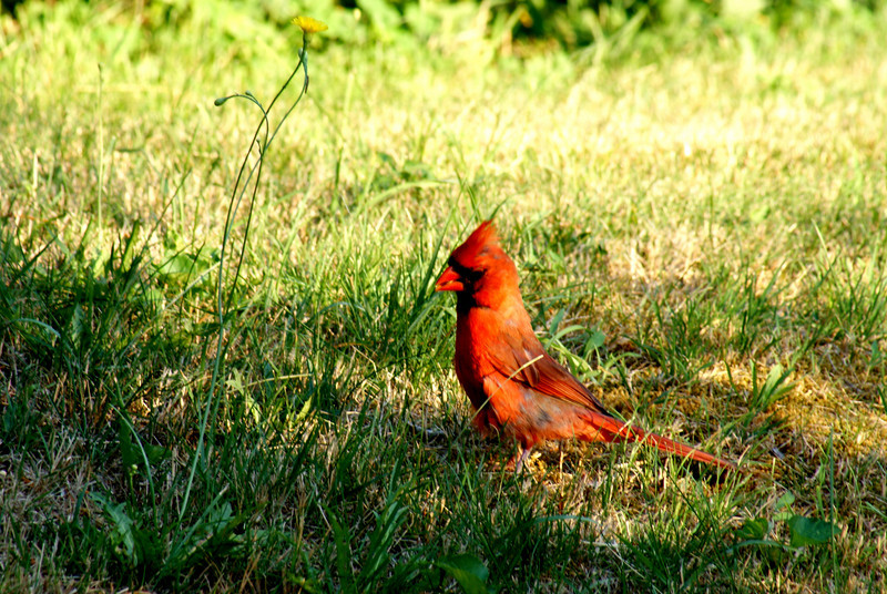"The chase continues: I was outside on the phone (camera over my shoulder) when who should drop out of the sky, right infront of me?? My old nemesis...""Larry"" the cardinal. I dropped the phone, grabbed the camera and started firing away like a mad man. Larry countered by dancing in and out of the shadows. This was frustrating. I had to use a slower shutter speed but it compromised the sharpness of the image...and the higher my ISO the noisier the shot. (Larry knew this too) I kept adjusting my settings frantically as Larry danced the CHA-CHA from the shadow to the sunlight. Then, finally, Larry took off. This, sadly, is the best of all my shots. I WILL GET MY SHOT!!!!!!!!"