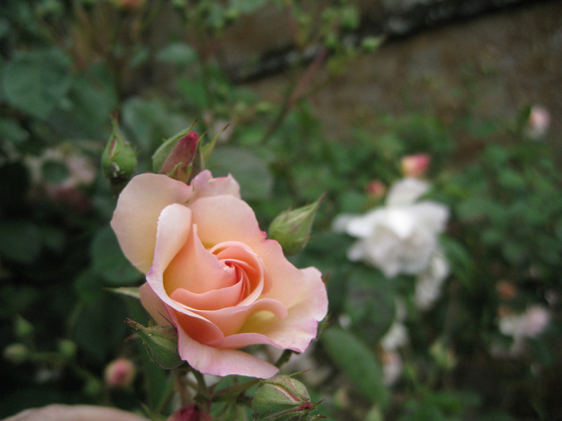One of many heirloom roses found among the flowers and specimen plantings at Wroxton Abbey.