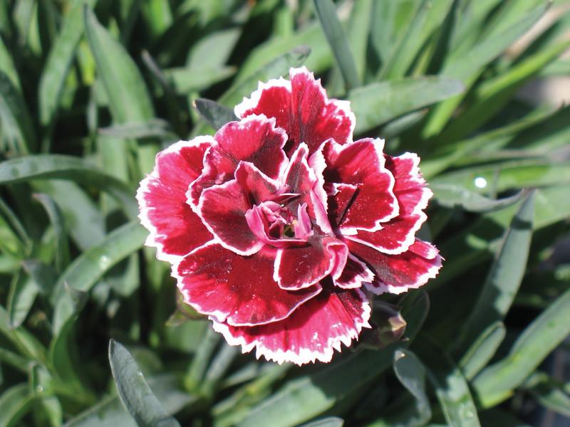 Dianthus Margarita.jpg