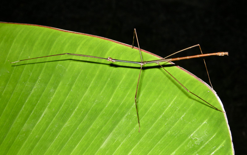 Stick Insect, Vietnam
