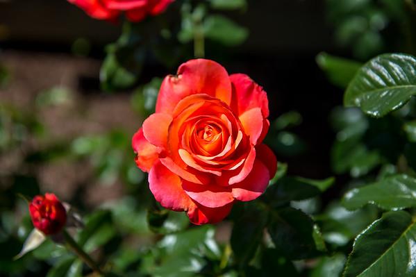 2016 06-29 Rose's Roses