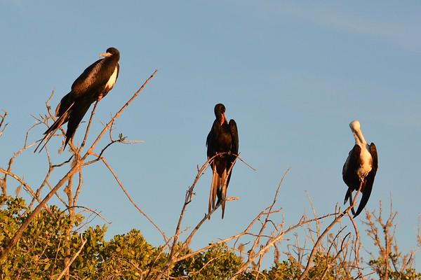 Frigatebirds, Magdalena Bay, Baja, Mexico