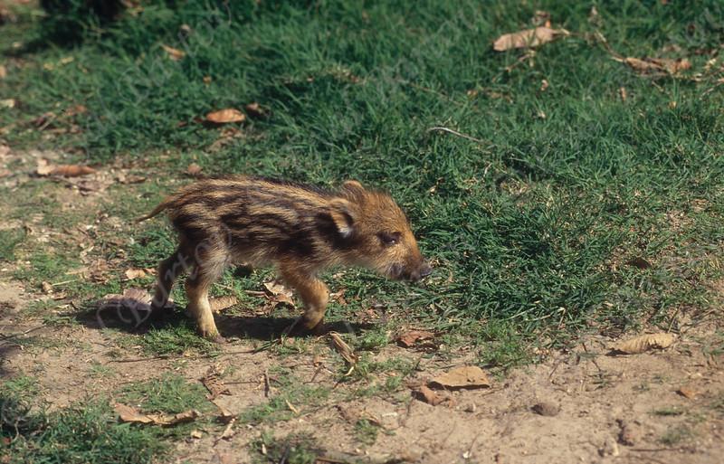 wild boar 15.jpg