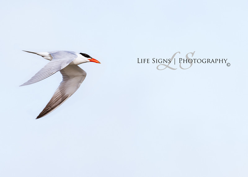 LS - Birds - Tern-1.JPG
