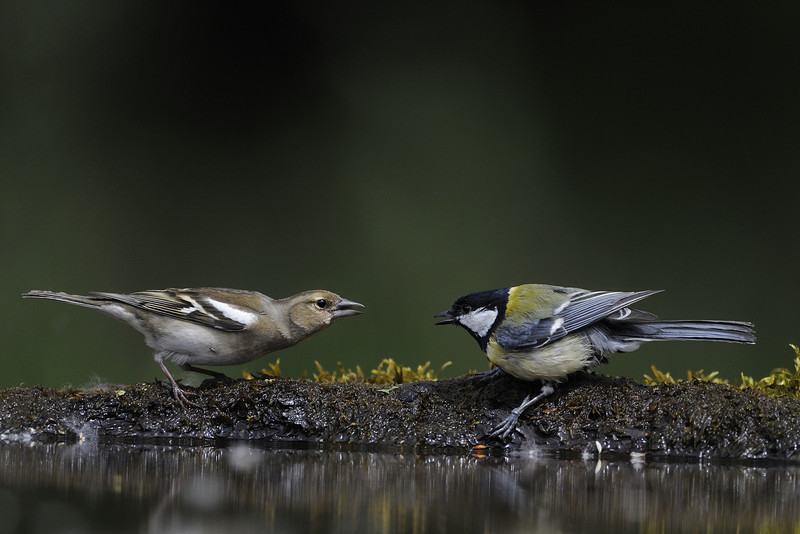 Chaffinch & Great Tit