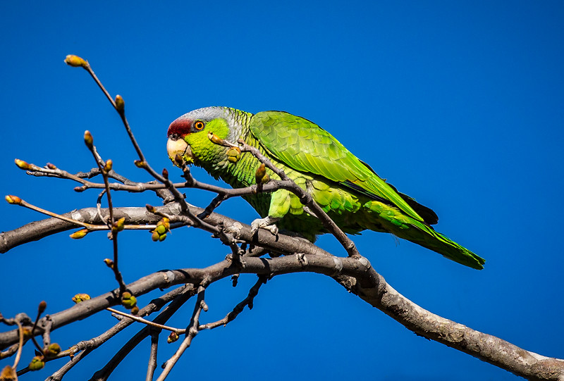 Lilac-crowned Amazon Parrot.jpg